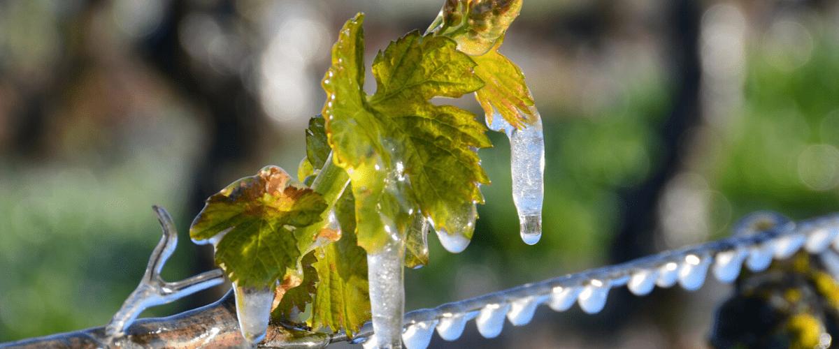 Gel de printemps dans la vigne