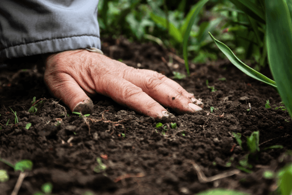 homme versant du raison après irrigation de son champ